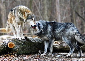 Wolf Playtime