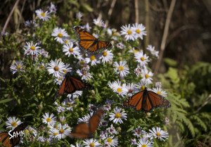 Butterflies on the coast of Maine getting ready to migrate south.