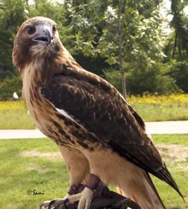 Red Tail Hawk Series 1: Turtle Spring Farm Wildlife Center