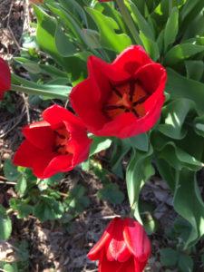 tulips_4666
